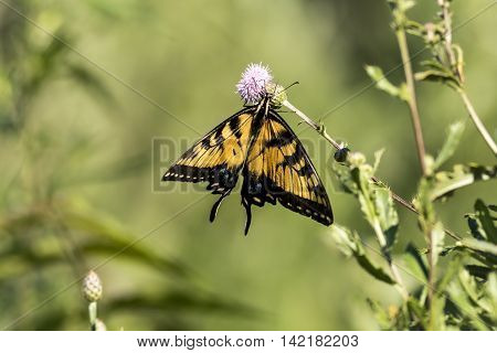 Beautiful Eastern Tiger Swallow Butterfly (Papilio Glaucus) in wild pink blazingstar flowers with soft background