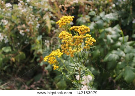 many yellow flowers in inflorescence on the background of green grass