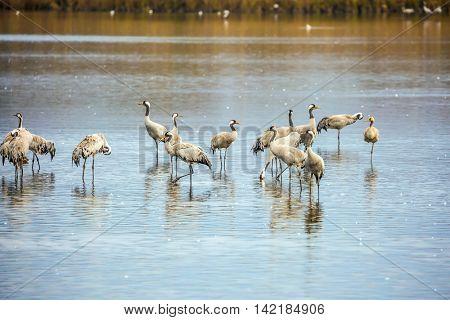 Migratory gray crane wintering on the lake. Fantastic winter dawn at Lake Hula. Hula Nature Reserve, Upper Galilee, Israel