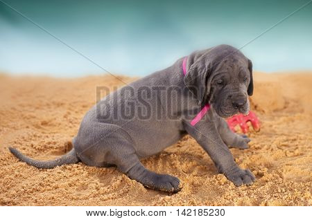 Purebred Great Dane puppy that is laying on the sand