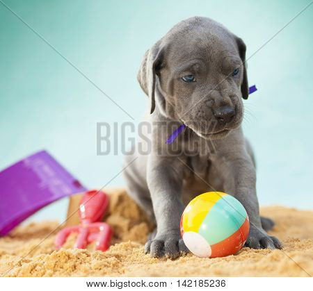 Purebred Great Dane puppy giving a mean look to guard its ball