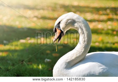 White swan on an autmn meadow. Swan eating grass.