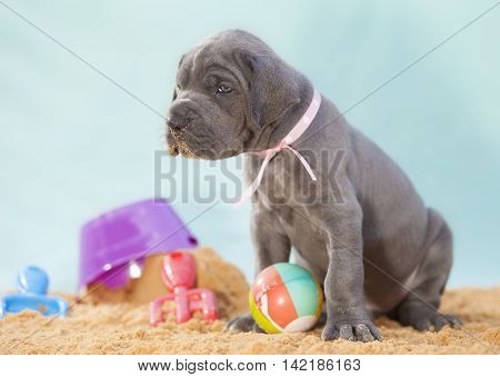 Puppy that is a purebread Great Dane on a sandy location