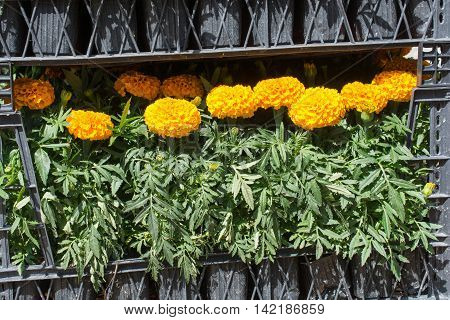 Load of Yellow color Marigold flowers in black cases