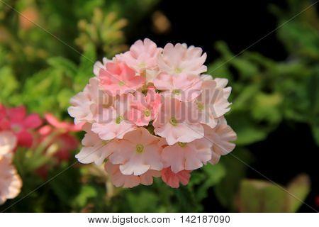 Pretty little pink flowers in landscaped backyard garden.