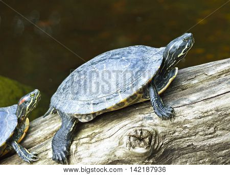 water turtle siting or resting on a tree trunk in a pond