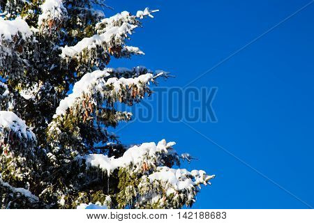 Winter Christmas holiday background with snowy pine tree branch, pine cones, blue sky, copy space