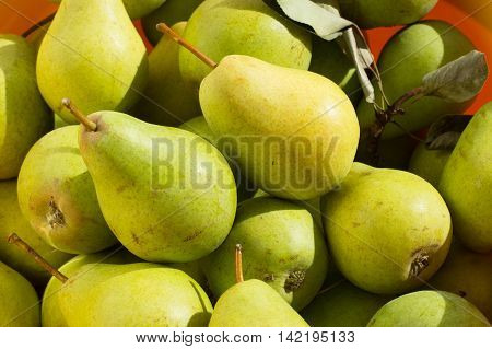 Ripe yellow and green pears in bright sunlight. Small fruit from tree garden plucked at late summer.