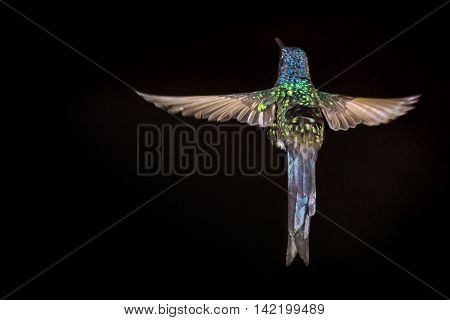 Hummingbird flying - with black background - isolated
