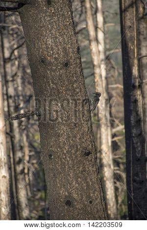 A young woodpecker on the side of a tree. Taken in Glacier National Park Montana United States.