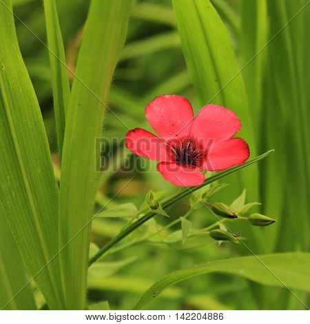 Red flax flower and green leaves. Summer flower.