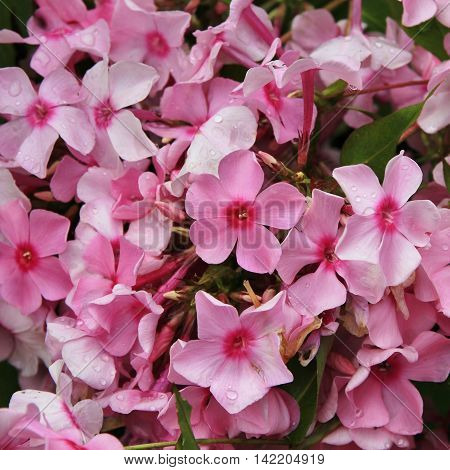Azalea. Pink summer flowers. Little garden flowers.