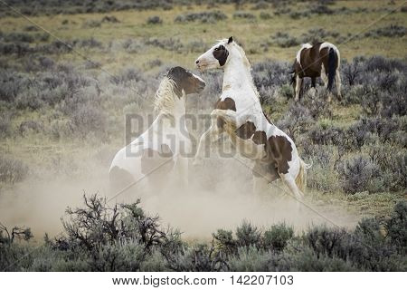 Two Wild Mustangs Fighting outside Cody Wyoming