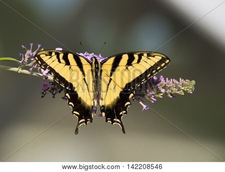 An Eastern Tiger Swallowtail (Papilio glaucus) gathering nectar from a Butterfly Bush, shown from above with wings spread.