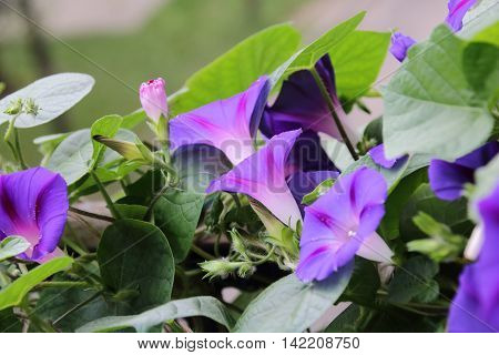 Ipomoea is one of the famous flower inthe garden