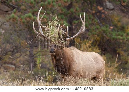 a big bull elk bugling during the fall rut