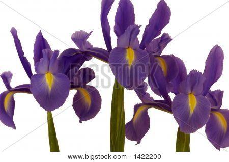 Purple Dwarf Iris