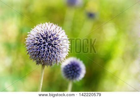 Blue allium flowers in sunlight.