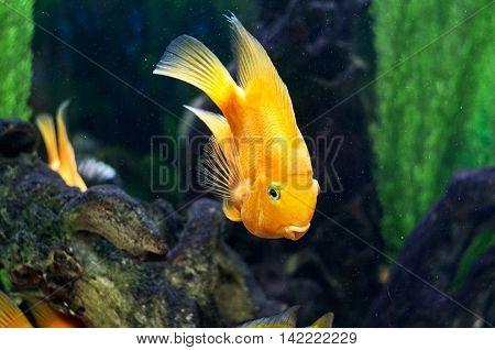 A bright parrot fish is in an aquarium