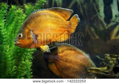 A photo of an oscar fish (Astronotus ocellatus) in a aquarium.