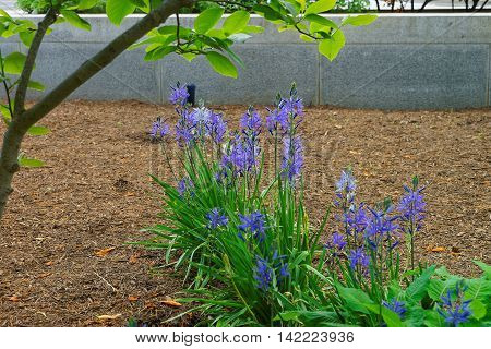 Beautiful Bright Blue Flowers In Park