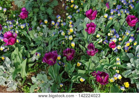 Bright Pansies And Tulips In The Big Colorful Flowerbed