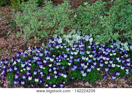 Dark And Light Blue Pansies In A Big Flowerbed