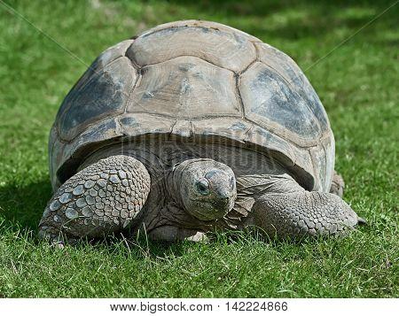 Aldabra Giant Tortoise (Geochelone gigantea) resting in grassin its habitat
