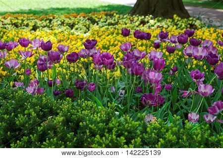 Purple Tulip Flowerbed Among Other Flowers In Washington Dc