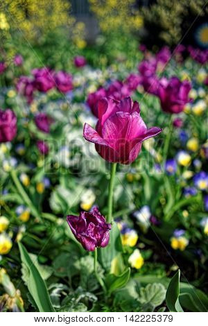 Single Purple Tulip Among Lots Of Other Flowers