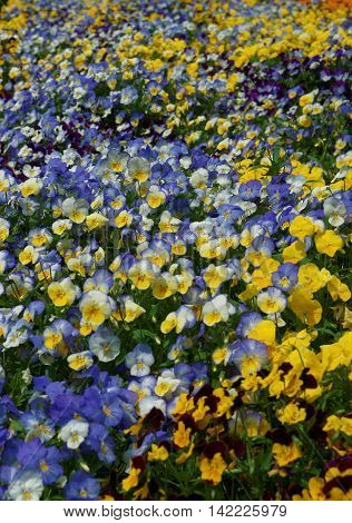 Yellow And Blue Pansies In The Big Flower Bed