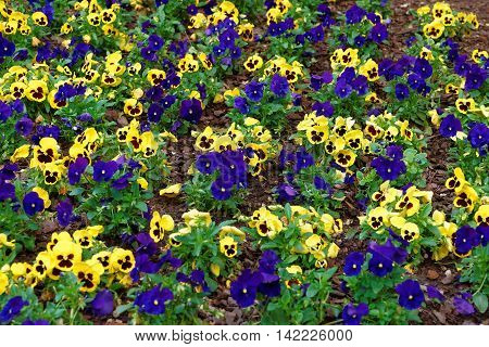 Yellow And Blue Pansies In The Big Flowerbed