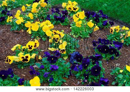 Yellow And Dark Blue Pansies In The Big Flowerbed