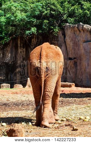 Behind African Elephant At The Zoo.