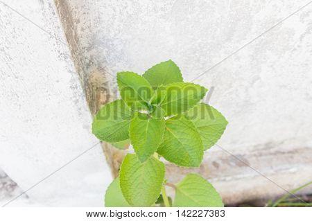 ndian borage Plectranthus amboinicus (Lour.) Spreng. ( Syn. Coleus amboinicus Lour.)