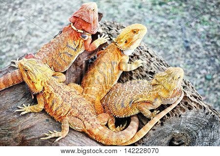 chameleon animal  portrait nature exotic pet colors