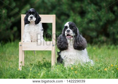 american cocker spaniel dog with a puppy