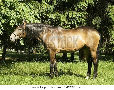 light brown horse with black mane and tail standing on the grass on a background of green trees