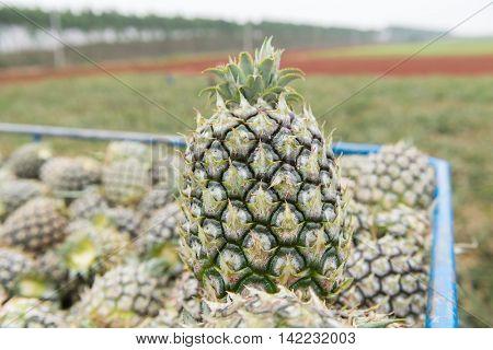 ruck full of fresh ripe pineapples
