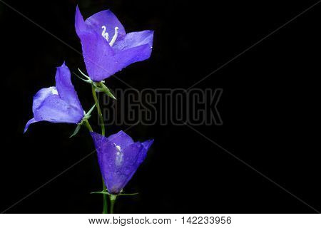Dewy bluebell flower (Campanula persicifolia) in the morning. Black background with copy space.