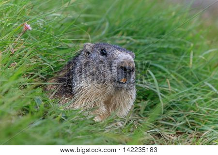 Alpine marmot (Marmota marmota) sticking out from a burrow. French Alps