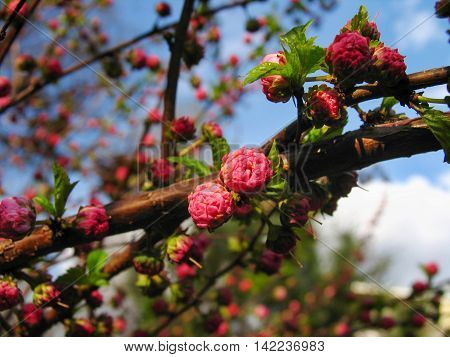 Vibrant branch with blossoming buds of pink bush louiseania (prunus triloba)