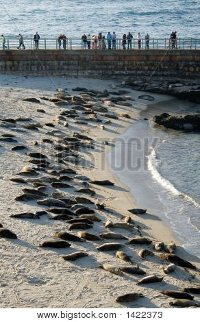 La Jolla Harbor Seals
