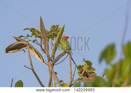 Plum-headed Parakeet in a tree near Nagarhole National Park in India