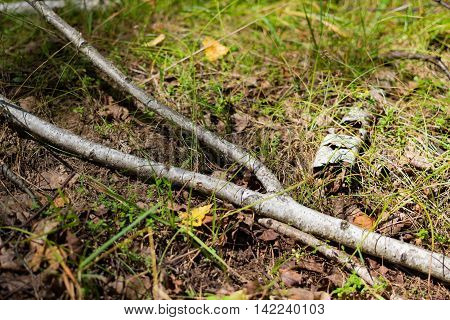 Birch branch lies in the forest in the evening