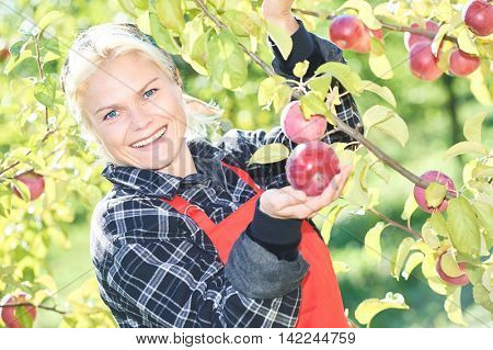 Woman picker portrait in apples orchard