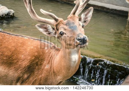 Young spotted, red-headed deer with a wet muzzle at a watering place
