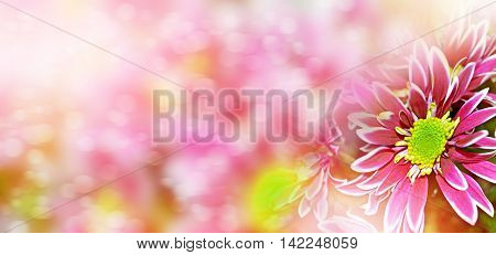 Summer landscape. Flowering branches chrysanthemum. beautiful flowers