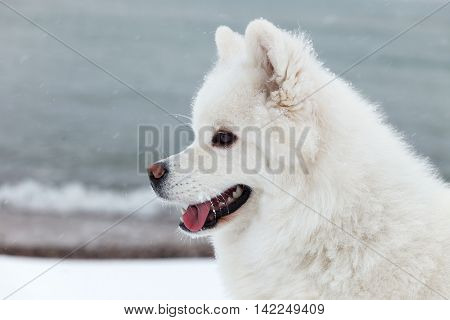 White Samoyed dog in winter walking on the sea and shows the tongue