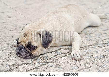 Cute Pug Lying,dog Very Sadd